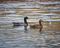 Mallard Ducks at the Sourland Mountain Preserve. Image taken with a Nikon D300 camera and 80-400 mm VR lens (ISO 320, 400 mm, f/8, 1/250 sec).