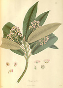 Sauraiya napalensis From Plantae Asiaticae rariores, or, Descriptions and figures of a select number of unpublished East Indian plants Volume II by N. Wallich. Nathaniel Wolff Wallich FRS FRSE (28 January 1786 – 28 April 1854) was a surgeon and botanist of Danish origin who worked in India, initially in the Danish settlement near Calcutta and later for the Danish East India Company and the British East India Company. He was involved in the early development of the Calcutta Botanical Garden, describing many new plant species and developing a large herbarium collection which was distributed to collections in Europe. Several of the plants that he collected were named after him. Published in London in 1831