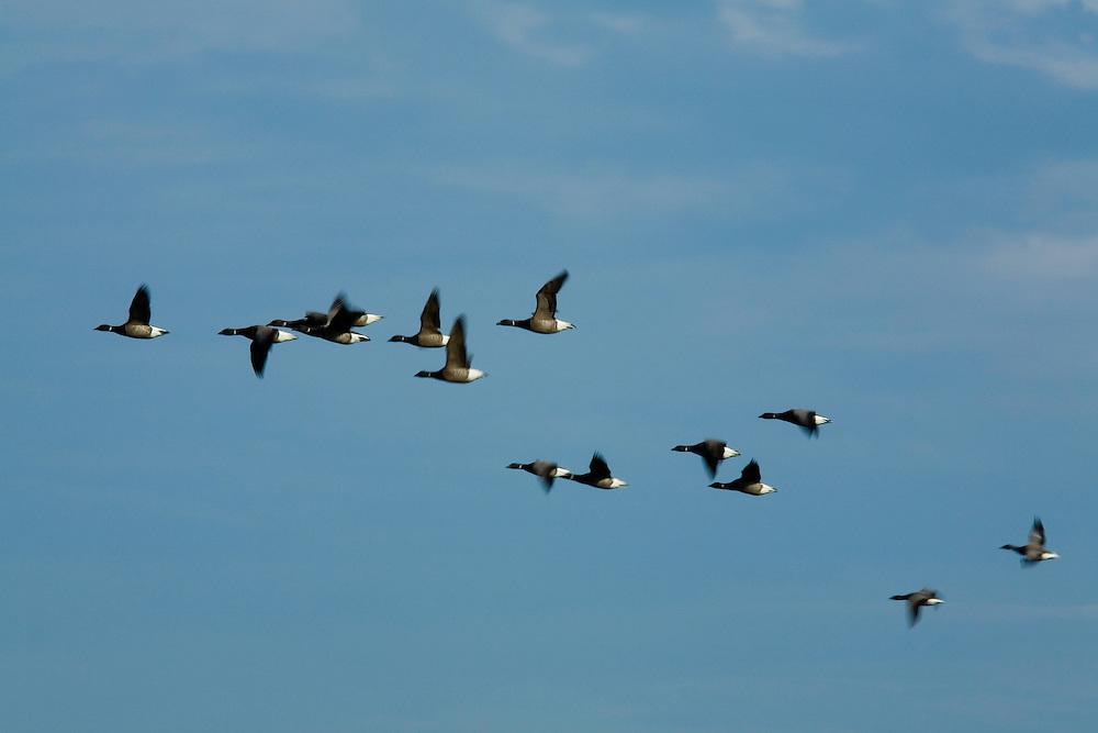 27.04.2009<br /> Brent Goose (Branta bernicla) örvös lúd<br /> Westerhever, Germany