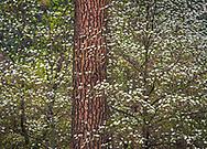 Dogwood flowers bloom in spring, Yosemite Valley, Yosemite National Park, California