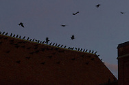 Middletown, New York - Crows converge on downtown Middletown as the crescent moon shines in the twilight sky on  Nov. 25, 2014.