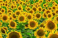 Sunflowers, Mattituck,  New York