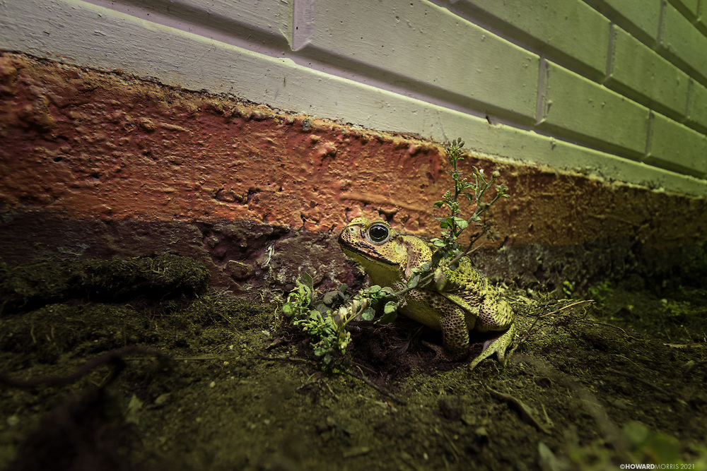 A cane toad (Rhinella marina), also known as the giant neotropical toad or marine toad, waits patiently under a light for unsuspecting bugs to stray to close. Belize.