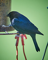 Brown-headed Cowbird (Molothrus ater). Image taken with a Nikon D5 camera and 600 mm f/4 VR lens.