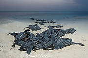 leatherback sea turtle hatchlings, Dermochelys coriacea ( Critically Endangered species ), emerging from nest after hatching, Playa Colita, Pedernales, Dominican Republic ( Caribbean Sea )