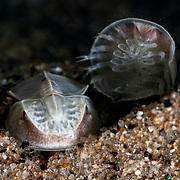 This is a pair of endangered Japanese horseshoe crab (Tachypleus tridentatus) juveniles. One has commenced borrowing into the substrate. The other had flipped upside-down, as the juveniles seem to do with reasonable frequency.