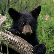 Black Bear, (Ursus americanus) Cub. Spring. Montana.  Captive Animal.