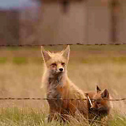 Red Fox, (Vulpus fulva) Female with kit, kit has bone in mouth. Spring. Montana.