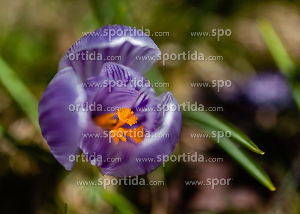 THEMENBILD - der Frühlings-Krokus (Crocus vernus), auch Frühlings-Safran genannt, ist eine Pflanzenart aus der Gattung der Krokusse (Crocus) innerhalb der Familie der Schwertliliengewächse (Iridaceae), aufgenommen am 17. März 2019, Kaprun, Österreich // The spring crocus (Crocus vernus), also called spring saffron, is a plant species of the genus crocus (Crocus) within the family of the irises (Iridaceae) on 2019/03/17, Kaprun, Austria. EXPA Pictures © 2019, PhotoCredit: EXPA/ Stefanie Oberhauser