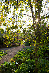 Sunlight shining through the leaves of Cercidiphyllum japonicum f. pendulum. Pendulous katsura