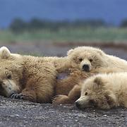 Alaskan Brown Bear (Ursus middendorffi) mother lying with her two cubs. Alaskan Peninsula