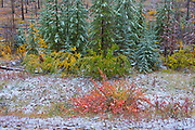 Snow and fall colors in the understory of an aspen forest. Sawback Range in the Bow Valley.<br />