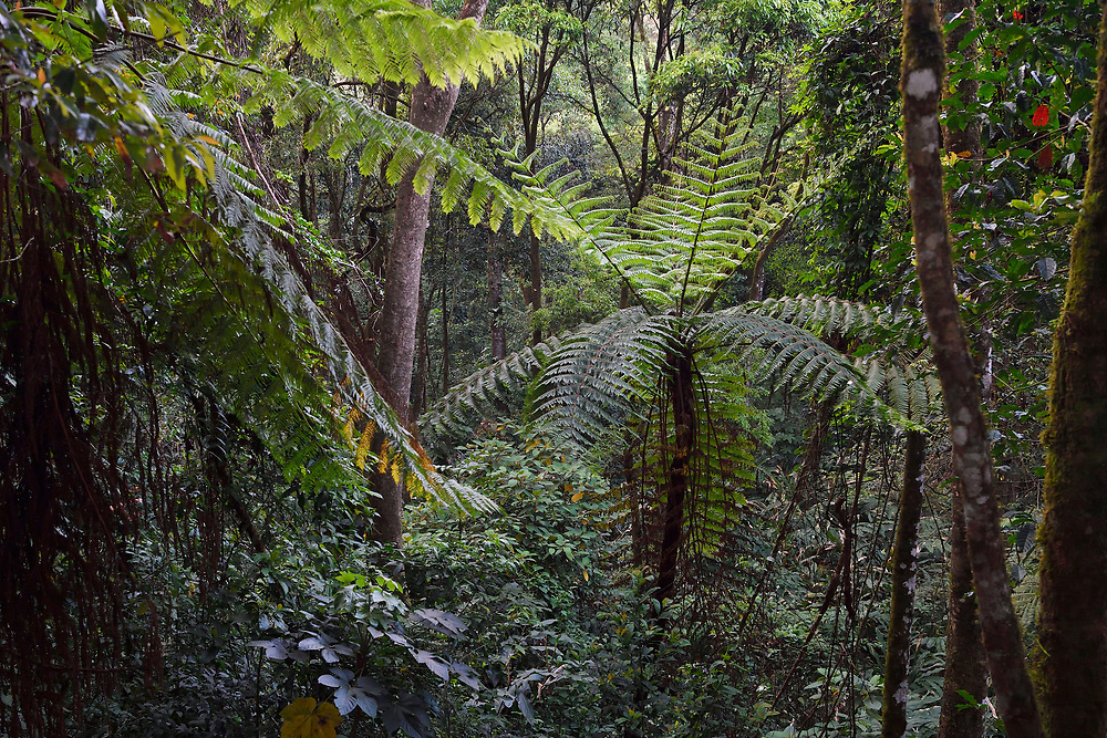 Tree ferns, Cyatheales, and other trees and vegetation in the montane rainforest, Tongbiguan nature reserve, Dehong prefecture, Yunnan province, China