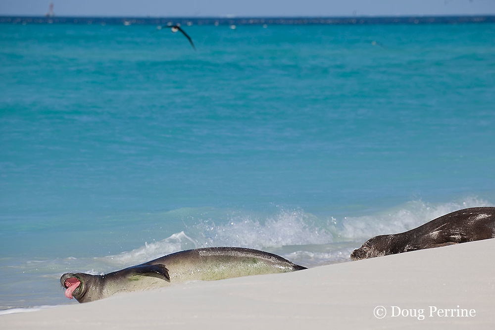 Hawaiian monk seal, Monachus schauinslandi, vocalizes, showing its tongue; Critically Endangered Species, Sand Island, Midway, Atoll, Midway Atoll National Wildlife Refuge, Papahanaumokuakea Marine National Monument, Northwest Hawaiian Islands ( Central North Pacific Ocean )