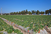 Strawberry Fields At Orange County Great Park