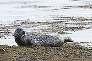 Common or harbour seal hauled out of the water at low tide in the Cromarty Firth, Scotland, looking behind it.