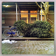 O Christmas Tree<br /> <br /> New York, U.S. - Discarded Christmas trees camouflage a bike along the sidewalk  of New York City awaiting pick-up. <br /> <br /> O' Christmas Tree - Launched December 24, 2013 - The Christmas tree has become so popular that 8 in 10 Americans say they plan to put one up this year, according to Pew Research Center, bringing the annual U.S. holiday tree market to $1 billion. For the next week, everyone who celebrates the Christmas holiday will be doting over these brightly lit holiday centerpieces until Christmas finally comes. Then, when it's all over, they'll be just as quickly forgotten. The contrast between affection and then abandonment is central to Bryan Smith's set of images titled 'O Christmas Tree'. Bryan wandered the streets the of New York City creating these beautiful images of abandoned Christmas trees at the end of last years festive season.The tree tradition began in the Middle Ages in Roman Catholic countries, when the Feast Day of Adam and Eve was celebrated on Dec. 24. The Germans would do a procession carrying ''paradise trees'' with apples on them representing the forbidden fruit. In England during the Victorian era, when Queen Victoria married Prince Albert, a German, he brought Christmas trees into their palaces. The first official Christmas tree in the USA was lit up in 1842 In Williamsburg, Virginia. <br /> ©Exclusivepix