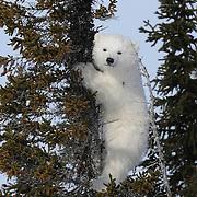 Polar Bear cub climbing a tree. Western Hudson Bay population, Canada