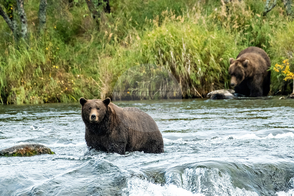 An adult Brown Bear known as 503 looks for spawning Sockeye Salmon on the lip edge at Brooks Falls in Katmai National Park and Preserve September 16, 2019 near King Salmon, Alaska. The park spans the worlds largest salmon run with nearly 62 million salmon migrating through the streams which feeds some of the largest bears in the world.