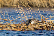 Canada goose on nest in spring