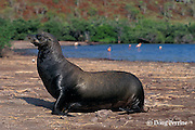 Galapagos sea lion bull, Zalophus californianus wollebaeki, struts past lagoon with flamingos, Rabida or Jervis Island, Galapagos Islands, Ecuador, ( Eastern Pacific )