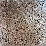 This is a cloud of crab larvae, just after release in shallow water by a female land crab (Discoplax hirtipes). At 100% magnification, the individual larva are easily distinguishable. See separate image of female crab in the act of releasing these eggs/ larvae into the water. Photographed at Ngeremdiu Beach, Ngeruktabel Island in Palau.