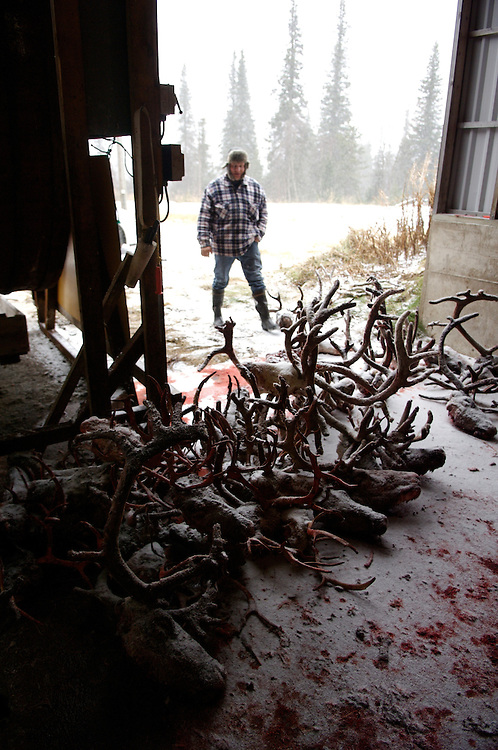 Hirvas Salmi, FINLAND. October 20, 2007-  Reindeer heads lie stacked outside the abattoir of the Hirvas Salmi Reindeer Group.  Five herders slaughter 300 reindeer on the fourth day of the roundup earning £.40 per slaughter in a gruelling day?s work...