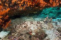A Tassled Wobbegong Shark rests under a colorful soft coral encrusted ledge.<br /> <br /> Shot in Indonesia