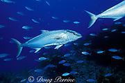 amberjacks, Seriola dumerili, Bahamas ( Atlantic )