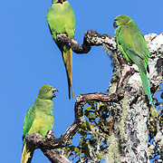 Echo parakeets, Psittacula eques, in Upper Gorges, Black River Gorges National Park, Mauritius. This species was down to just 10 individuals in the wild a few decades ago. Now, thanks to captive breeding and monitoring efforts, there are over 500 mature individuals in the wild.