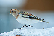 "The Snow Bunting (Plectrophenax nivalis), sometimes colloquially called ""snowflake"", is a passerine  bird in the bunting family Emberizidae. It is an arctic specialist, with a circumpolar Arctic breeding range throughout the northern hemisphere. These photos are taken in Grimsey, Iceland"