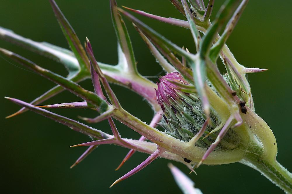 Flower on a thistle (Onopordum sp), Limassol, Cyprus