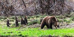Grizzly bear #399 with four cubs in Grand Teton National Park.  Grizzly bears usually have two cubs, sometimes three; this is only the seventh time in Yellowstone's 150 year history a grizzly sow had four cubs.