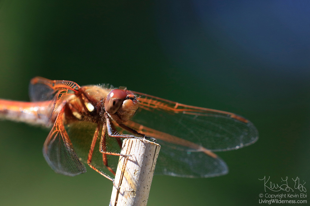 A flame skimmer (Libellula saturata) grabs onto a stick to rest in Snohomish County, Washingotn.
