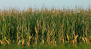 Stock shots of corn field near Columbus Neb.. Photo stock for Ethanol in the Midwest. .(Chris Machian/Prairie Pixel Group)