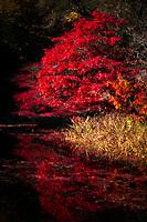 A striking Japanese Maple in full Autumn glory.