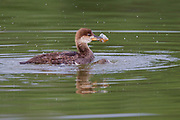 Hooded merganser duckling in Colorado. Ducklings can dive for food right after leaving the nest.