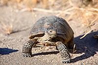An endangered desert tortoise in Anza Borrego Desert State Park, California.