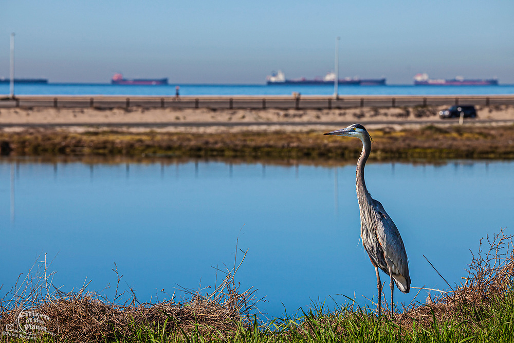 Great Blue Heron in Bolsa Chica Ecological Reserve with oil tankers in background in Catalina Channel, Orange County, California, USA