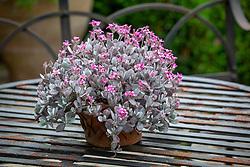 Kalanchoe pumila - dwarf kalanchoe - <br />  in a terracotta pot
