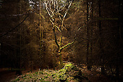 An isolated deciduous tree stands alone in a clearing in a dark, moody, spooky pine forest in the deserted valley of Nant Gwrtheyrn, Llyn Peninsula, North Wales<br />