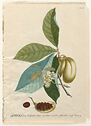 Coloured Copperplate engraving of an Annona squamosa plant from hortus nitidissimus by Christoph Jakob Trew (Nuremberg 1750-1792)