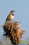 Male Bluethroat (Luscinia svecica) near a puddle of water in the desert, wintering in Negev, israel Photographed in December