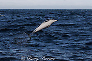 dusky dolphin, Lagenorhynchus obscurus, leaping or breaching, Kaikourua, South Island, New Zealand ( South Pacific Ocean )