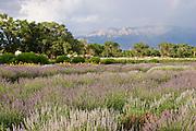 Lavender in bloom at annual festival near Albuquerque, NM.