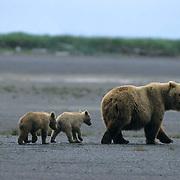 Alaskan Brown Bear, (Ursus middendorffi) Mother with two young cubs walking on tidal flats, Katmai National Park, Alaska.
