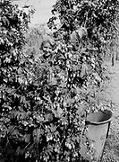 9969-2041. Girl picking hops. September 12, 1935. Riverside Hop farm, owned by A.J. Ray and Son, Inc., Newberg, Oregon.
