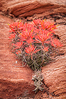 The  Eastwood Indian paintbrush has found a special niche in its harsh desert environment in which to thrive. They are found almost exclusively in cracks and crevices in the canyon walls of Utah, Colorado and New Mexico.