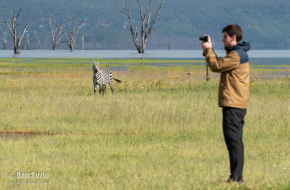 A Grant's Zebra, Equus quagga boehmi, watches as a tourist takes a photo on the shore of Lake Nakuru in Lake Nakuru National Park, Kenya