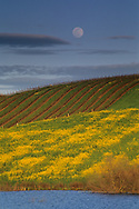 Spring moonrise over mustard, pond, & vineyard in the lower Carneros Region, Sonoma County, California